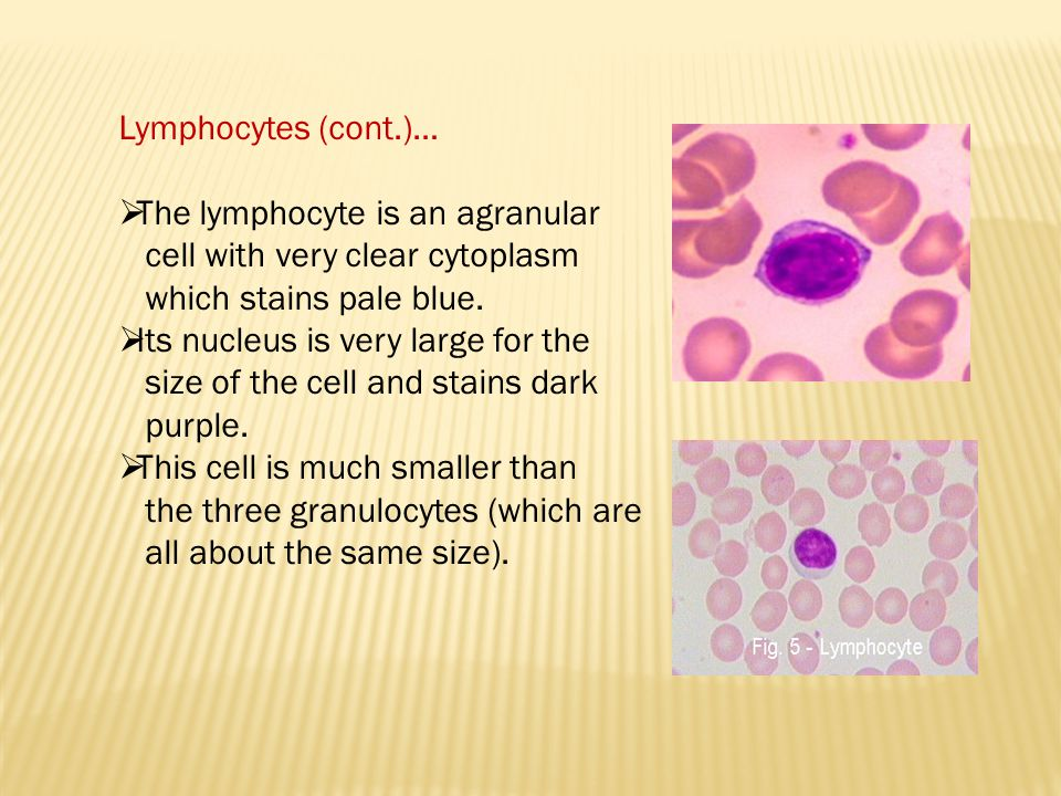 Lymphocytes (cont.)… The lymphocyte is an agranular. cell with very clear cytoplasm. which stains pale blue.
