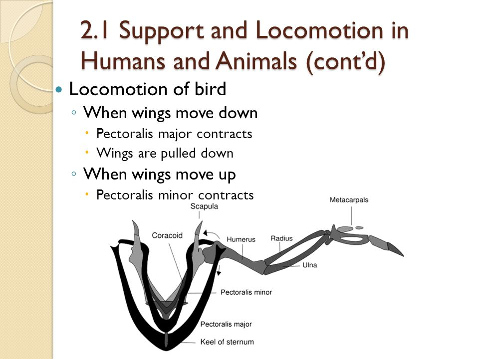 2.1 Support and Locomotion in Humans and Animals (cont'd)