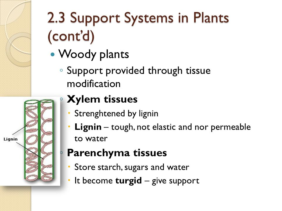 2.3 Support Systems in Plants (cont'd)