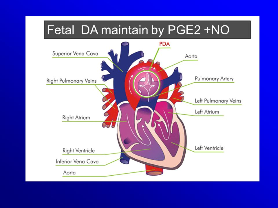 Fetal DA maintain by PGE2 +NO
