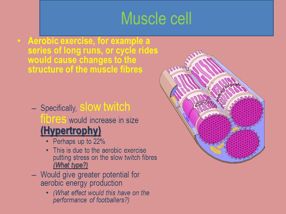 Muscle cell Aerobic exercise, for example a series of long runs, or cycle rides would cause changes to the structure of the muscle fibres.