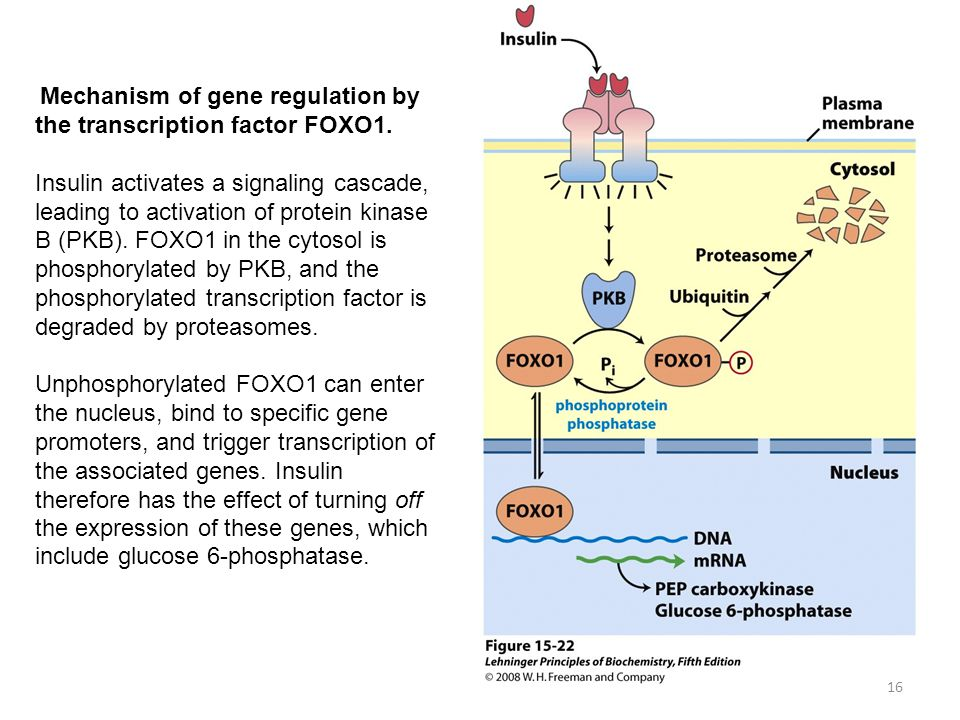 Mechanism of gene regulation by the transcription factor FOXO1.
