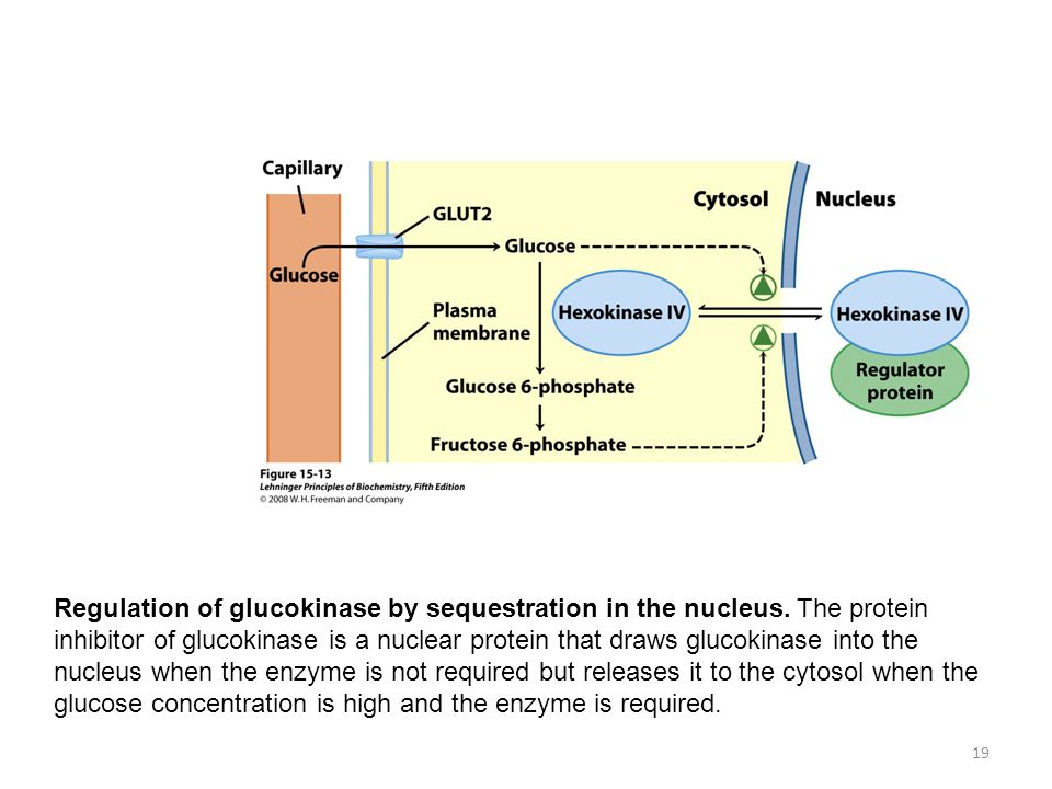 FIGURE 15-13 Regulation of hexokinase IV (glucokinase) by sequestration in the nucleus. The protein inhibitor of hexokinase IV is a nuclear binding protein that draws hexokinase IV into the nucleus when the fructose 6-phosphate concentration in liver is high and releases it to the cytosol when the glucose concentration is high.