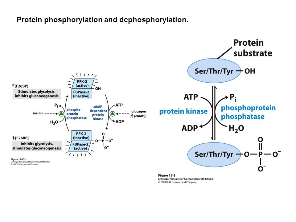 Protein phosphorylation and dephosphorylation.