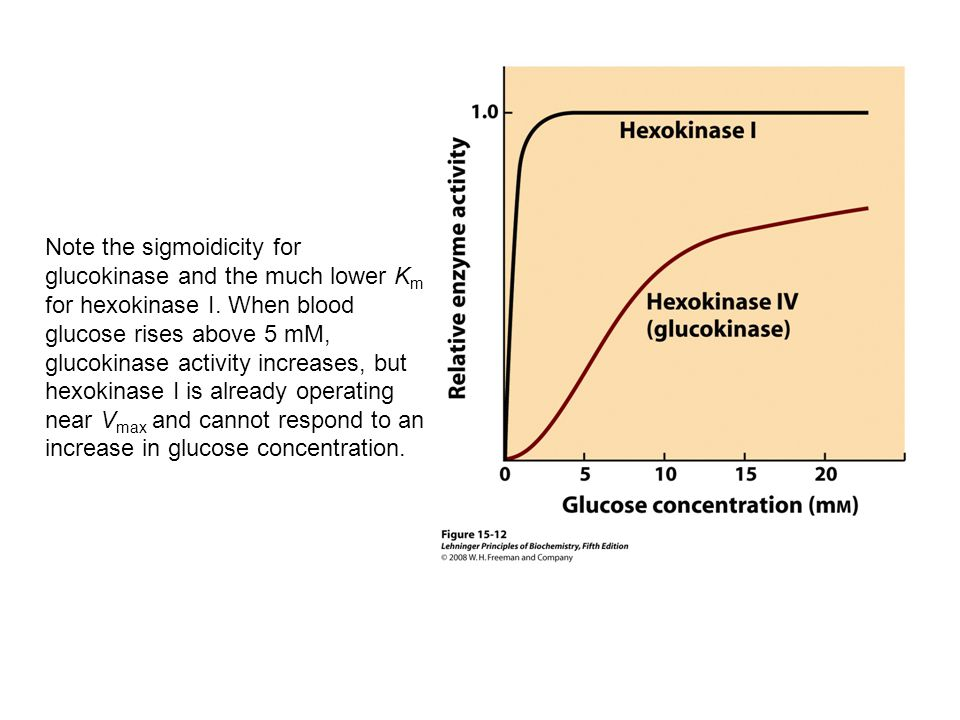 Note the sigmoidicity for glucokinase and the much lower Km for hexokinase I. When blood glucose rises above 5 mM, glucokinase activity increases, but hexokinase I is already operating near Vmax and cannot respond to an increase in glucose concentration.