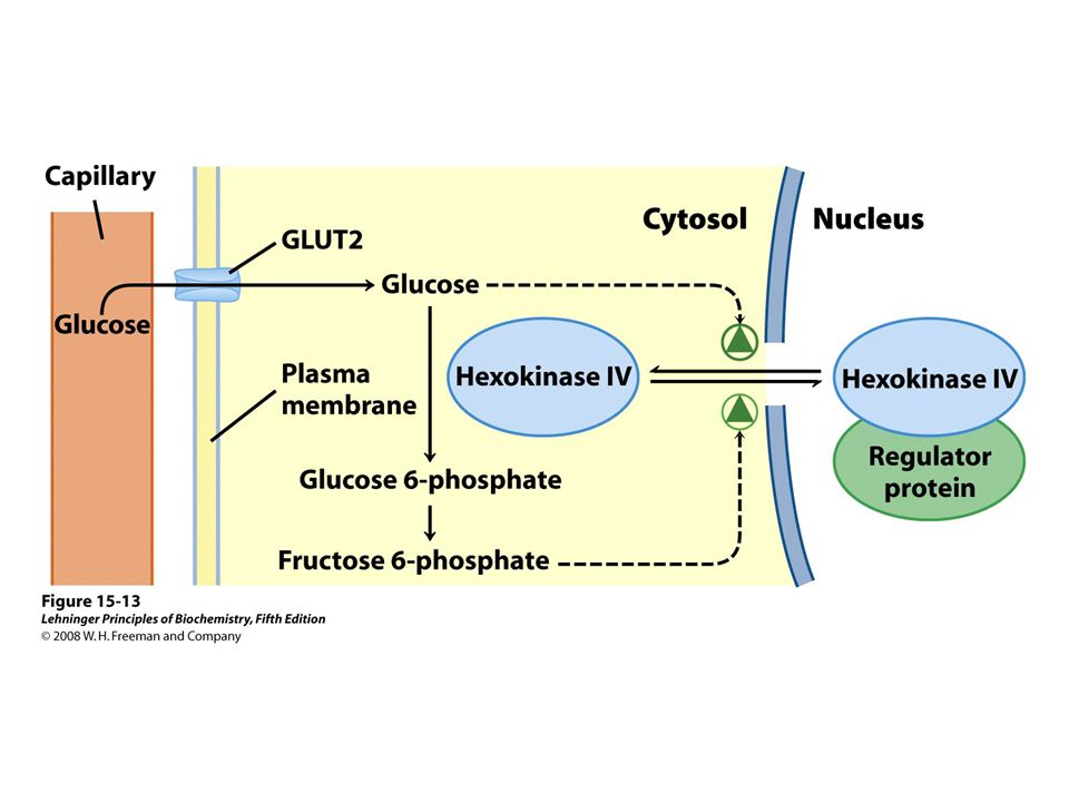 FIGURE 15-13 Regulation of hexokinase IV (glucokinase) by sequestration in the nucleus.