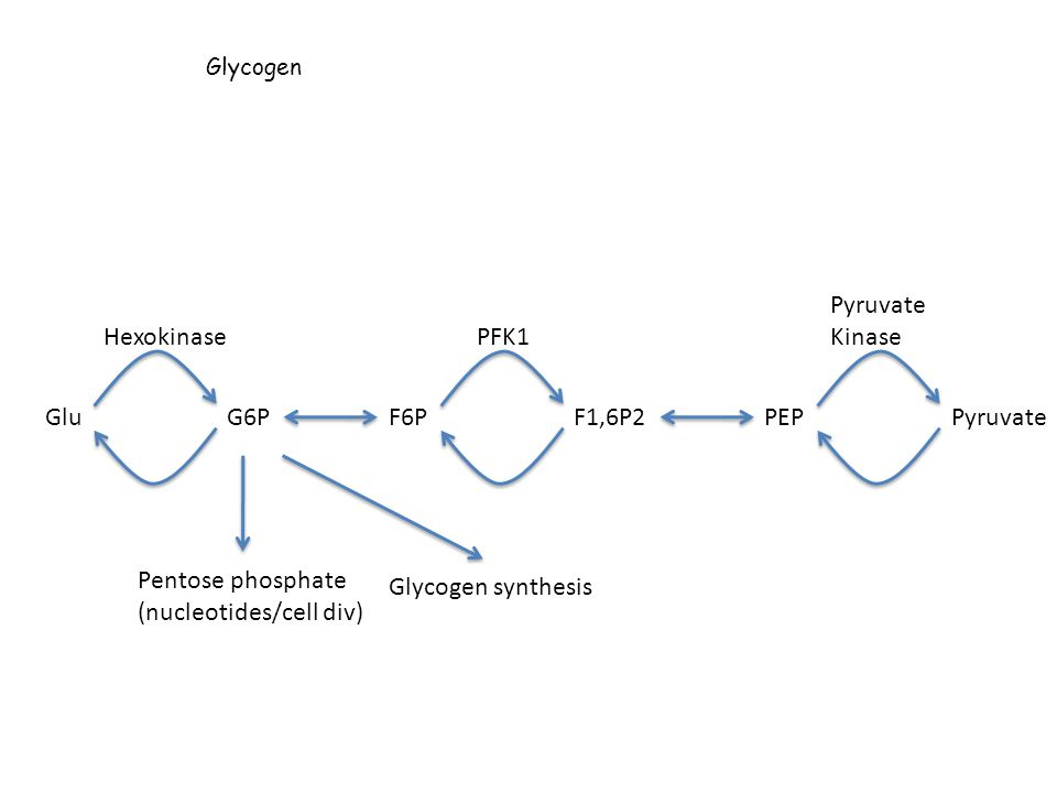 (nucleotides/cell div) Glycogen synthesis