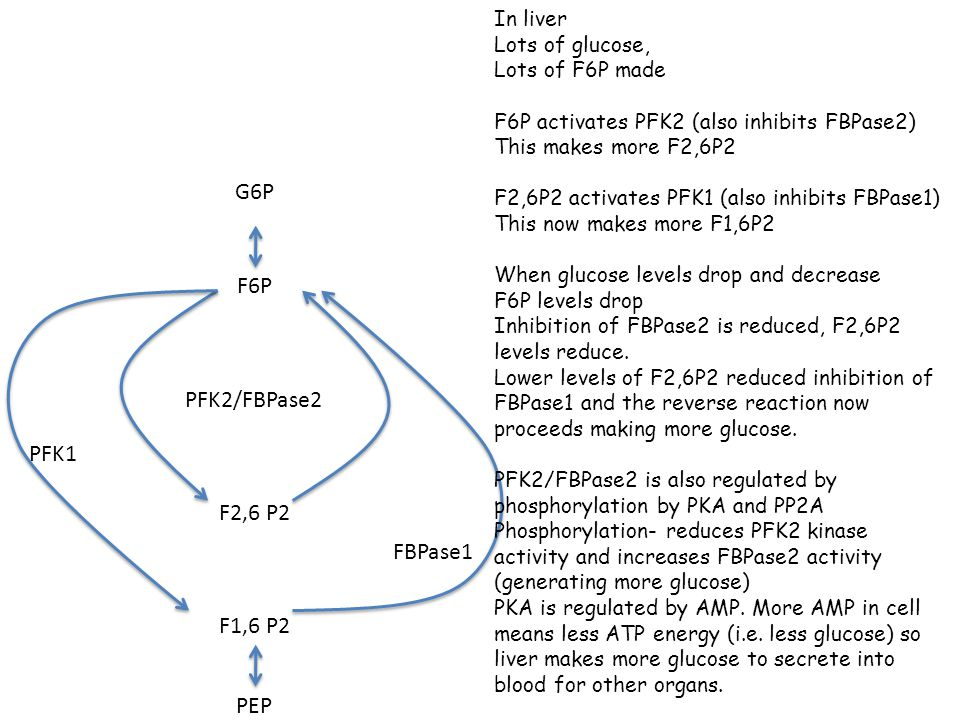G6P F6P PFK2/FBPase2 PFK1 F2,6 P2 FBPase1 F1,6 P2 PEP In liver