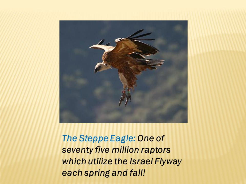 The Steppe Eagle: One of seventy five million raptors which utilize the Israel Flyway each spring and fall!