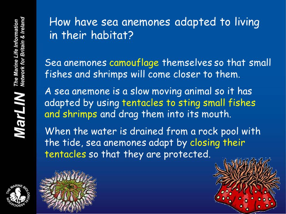 How have sea anemones adapted to living in their habitat