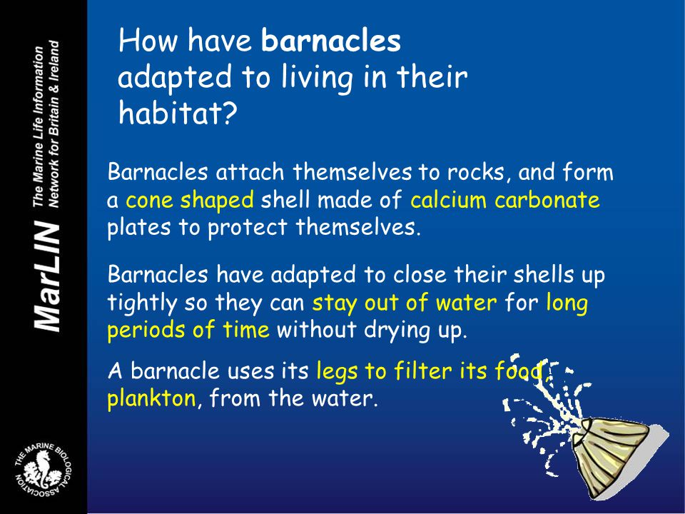 How have barnacles adapted to living in their habitat