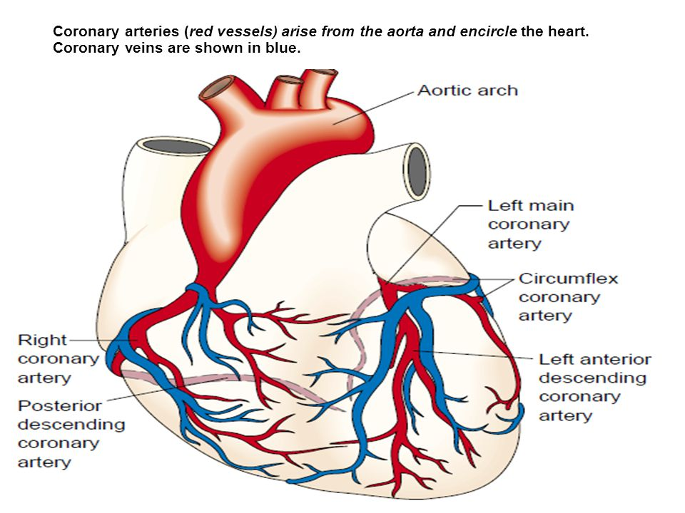 Coronary arteries (red vessels) arise from the aorta and encircle the heart.