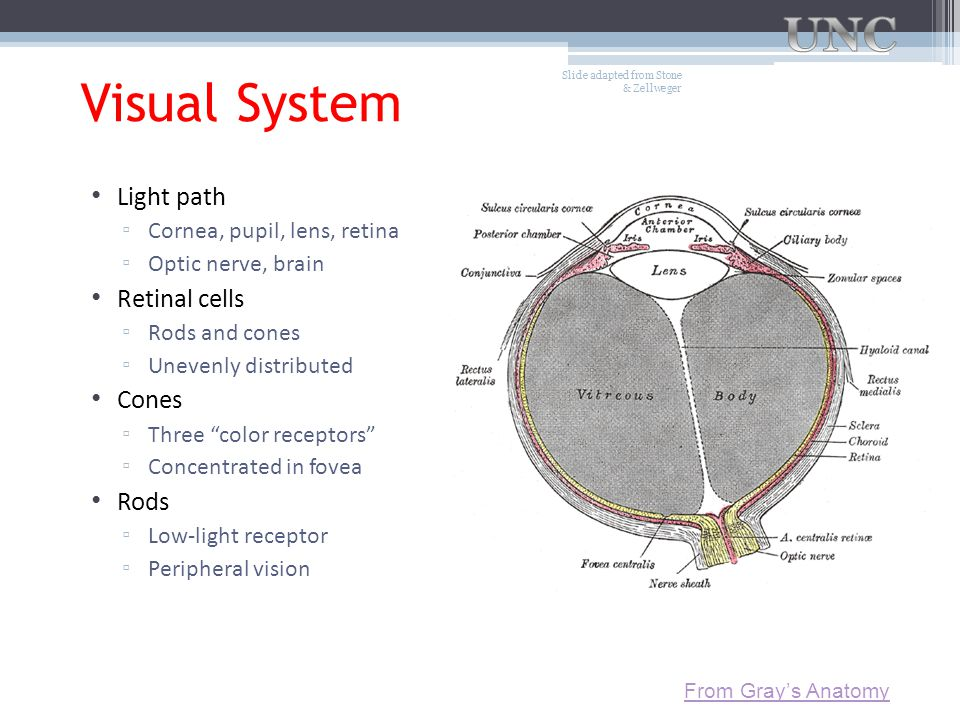 Visual System Light path Retinal cells Cones Rods