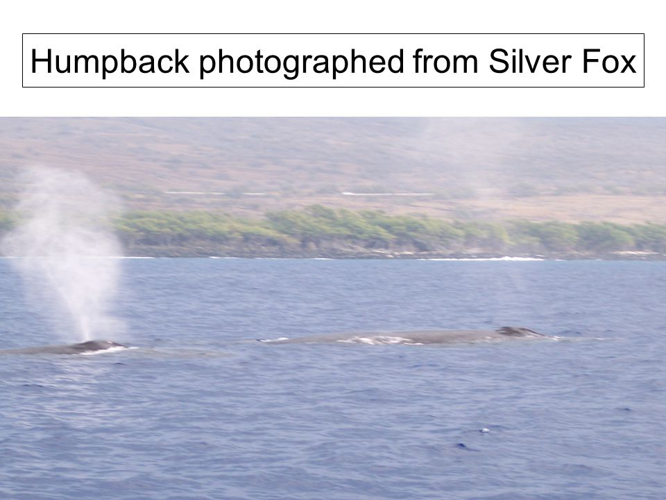 Humpback photographed from Silver Fox