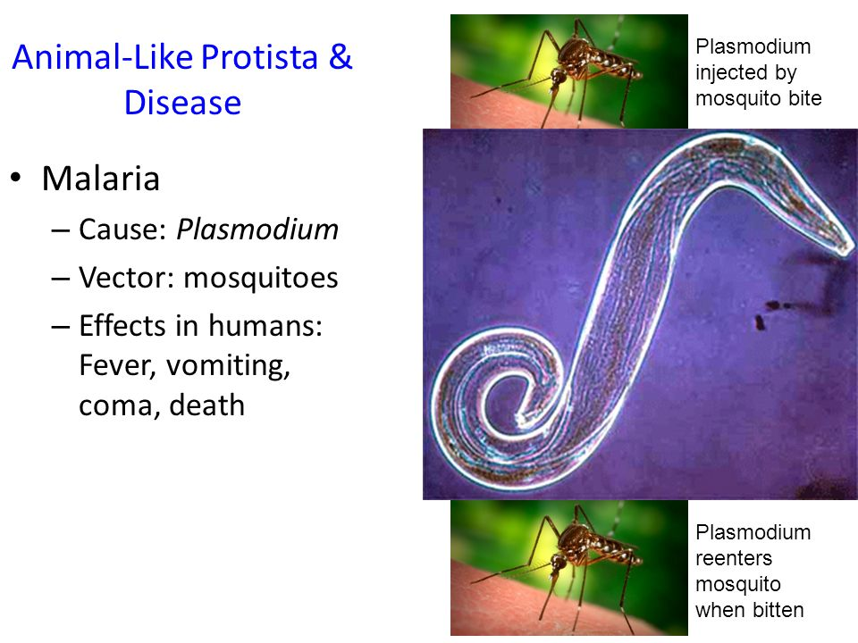 Animal-Like Protista & Disease