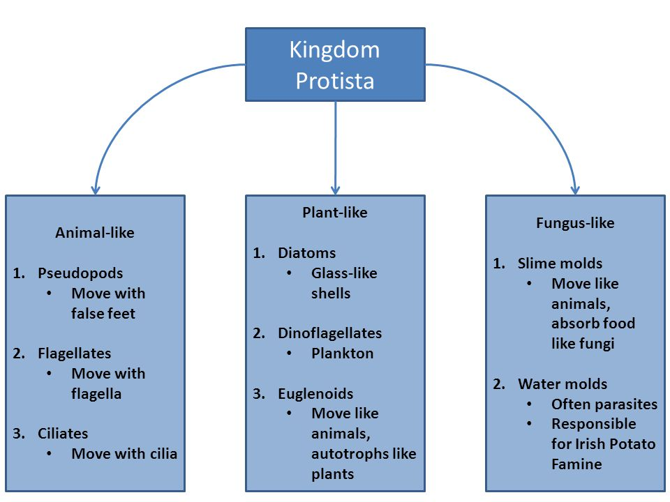 Kingdom Protista Animal-like Pseudopods Move with false feet