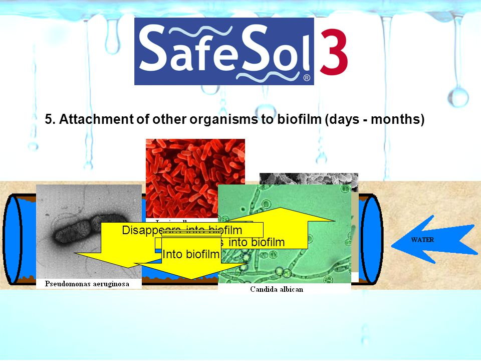 5. Attachment of other organisms to biofilm (days - months)
