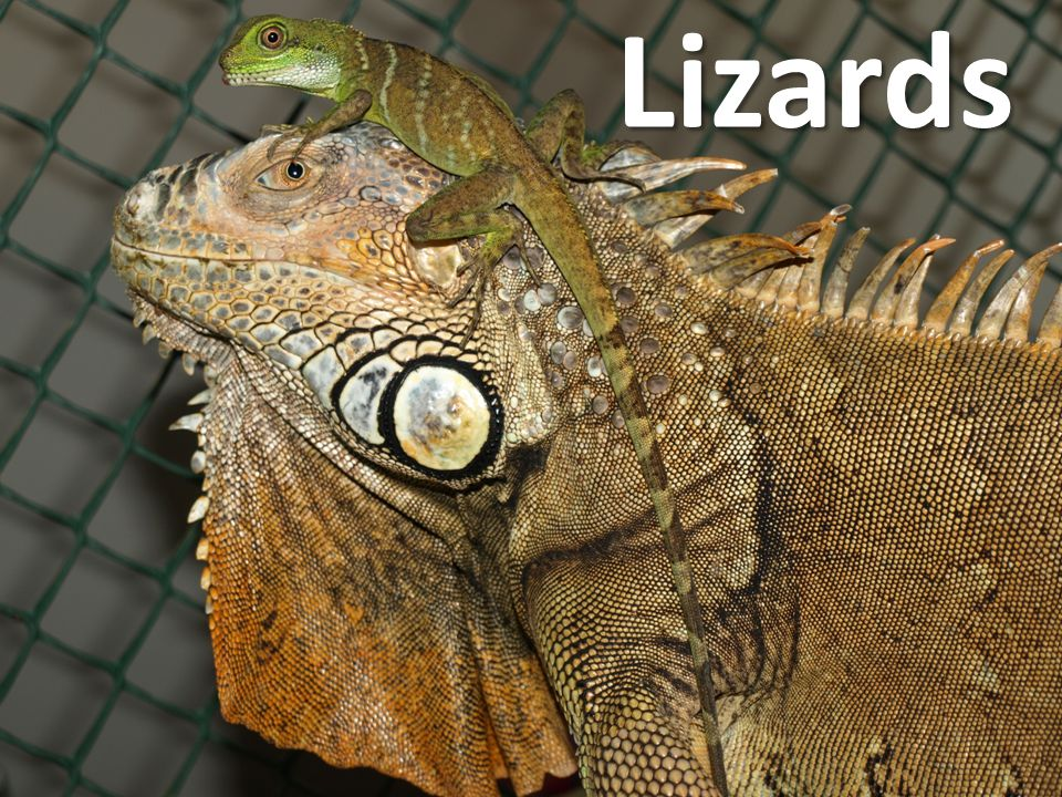 Lizards Don't house different species together!