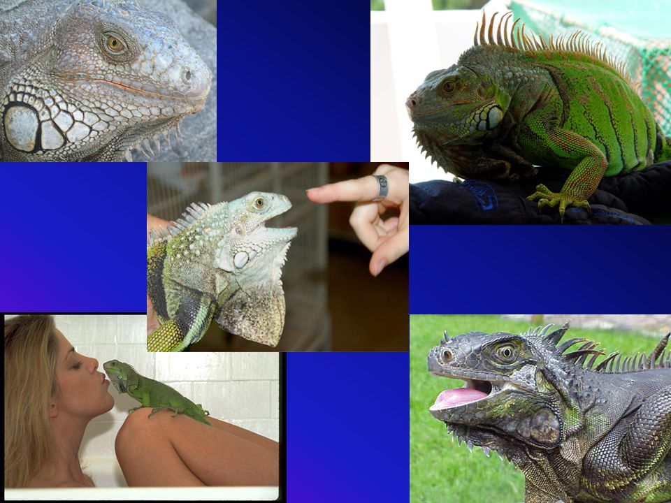 Which of these Iguanas would you trust