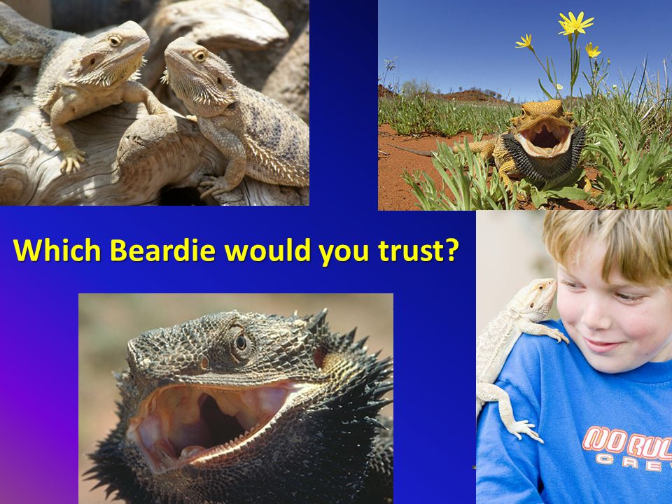 Which Beardie would you trust