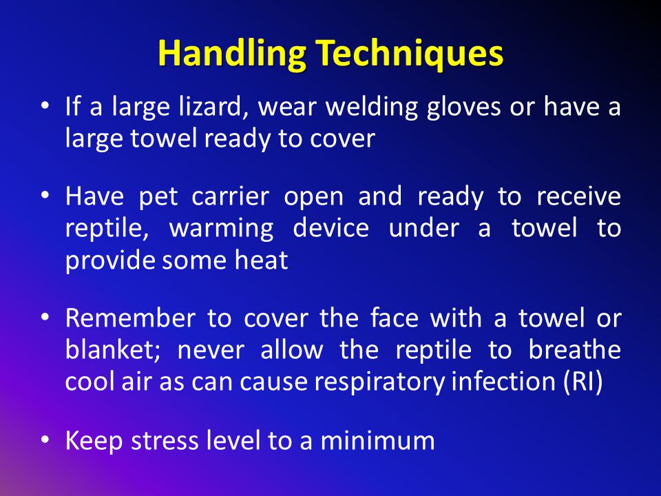 Handling Techniques If a large lizard, wear welding gloves or have a large towel ready to cover.