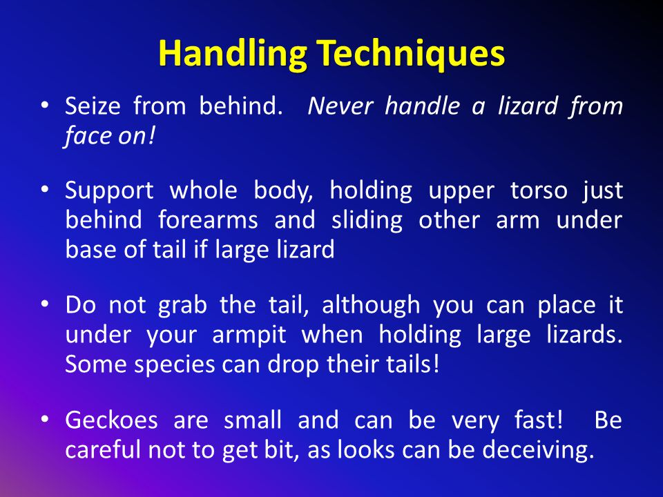 Handling Techniques Seize from behind. Never handle a lizard from face on!