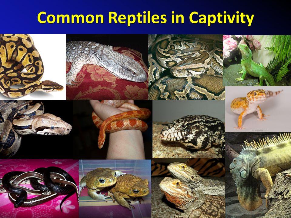 Common Reptiles in Captivity