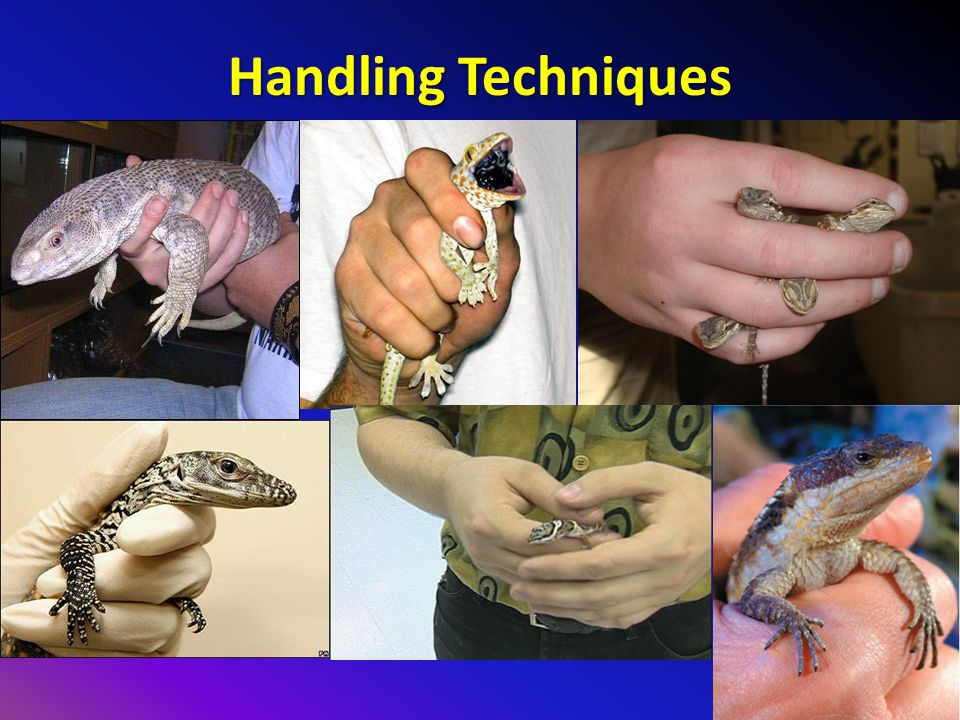 Handling Techniques Less painful to be bitten by a Savannah Monitor than a Tokay Gecko.