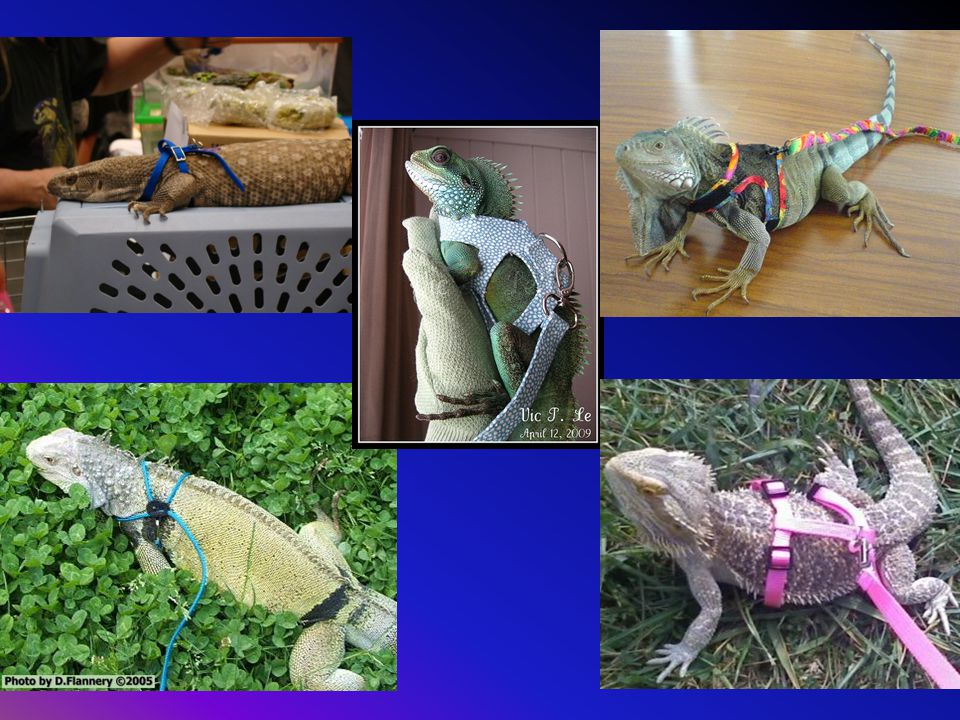 Bottom left: leash is too thin and Iguana could likely alligator roll to escape or break the harness