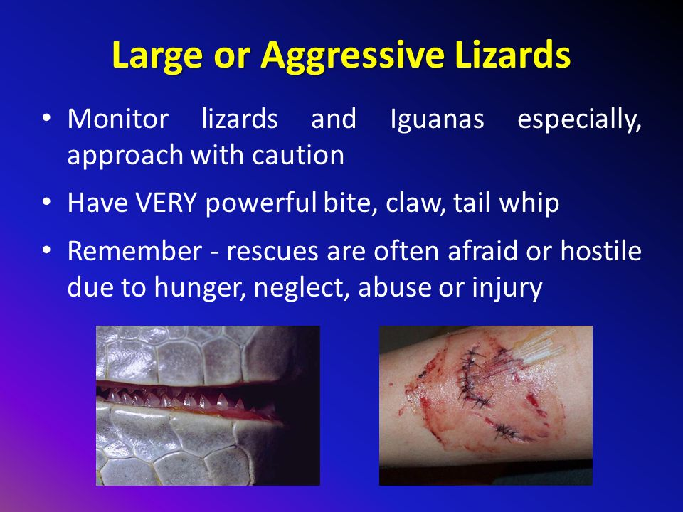 Large or Aggressive Lizards