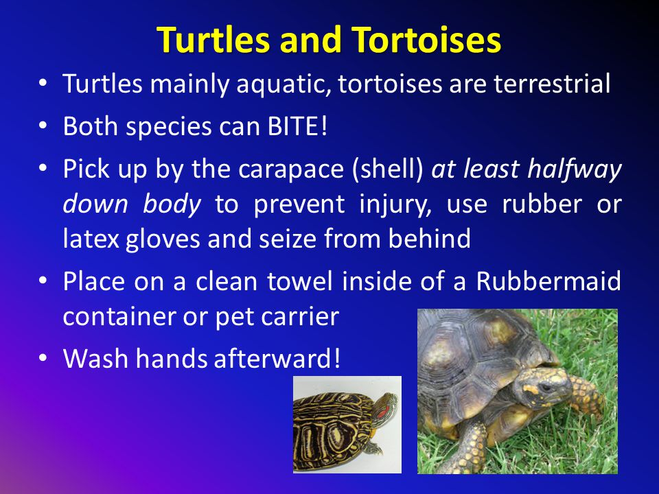 Turtles and Tortoises Turtles mainly aquatic, tortoises are terrestrial. Both species can BITE!