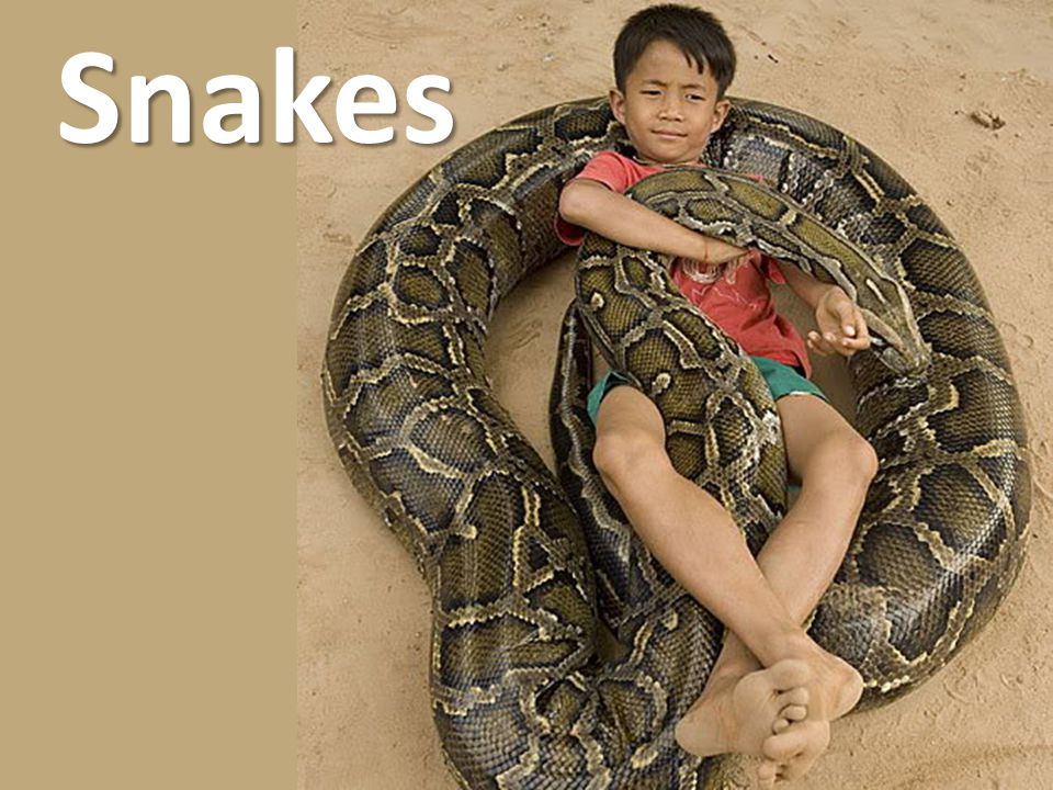 Snakes DO NOT handle large snakes alone or allow your children to handle reptiles unsupervised.