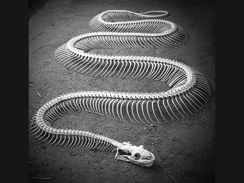 Contrary to what many people believe, snakes do have bones!