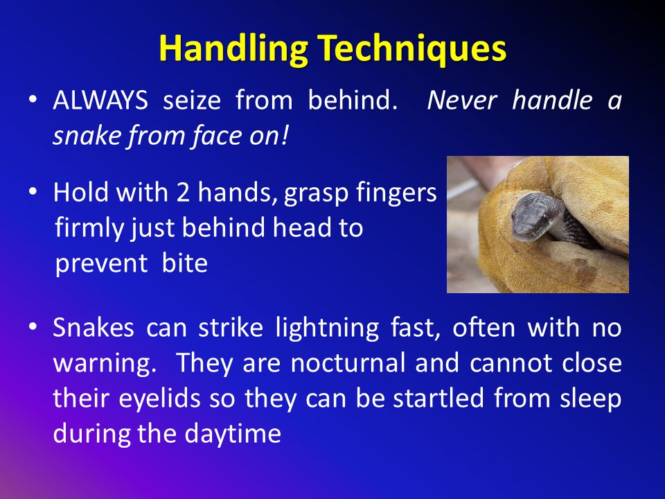 Handling Techniques ALWAYS seize from behind. Never handle a snake from face on! Hold with 2 hands, grasp fingers.