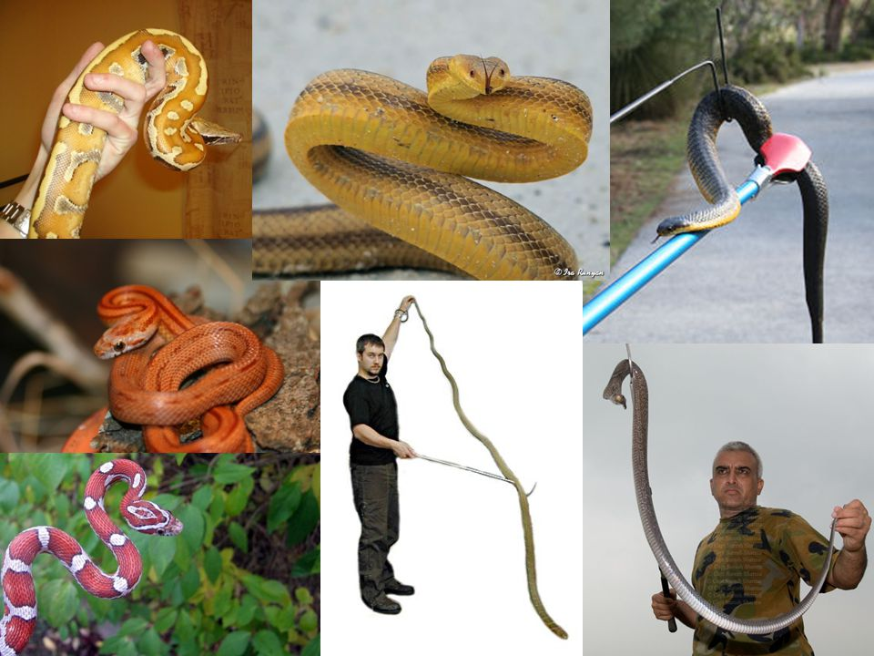 Top middle is the only example of the S stance; other snakes are just coiled