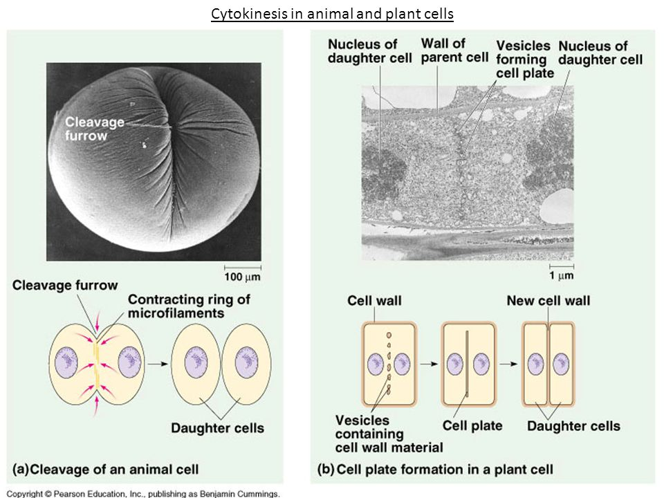 Cytokinesis in animal and plant cells