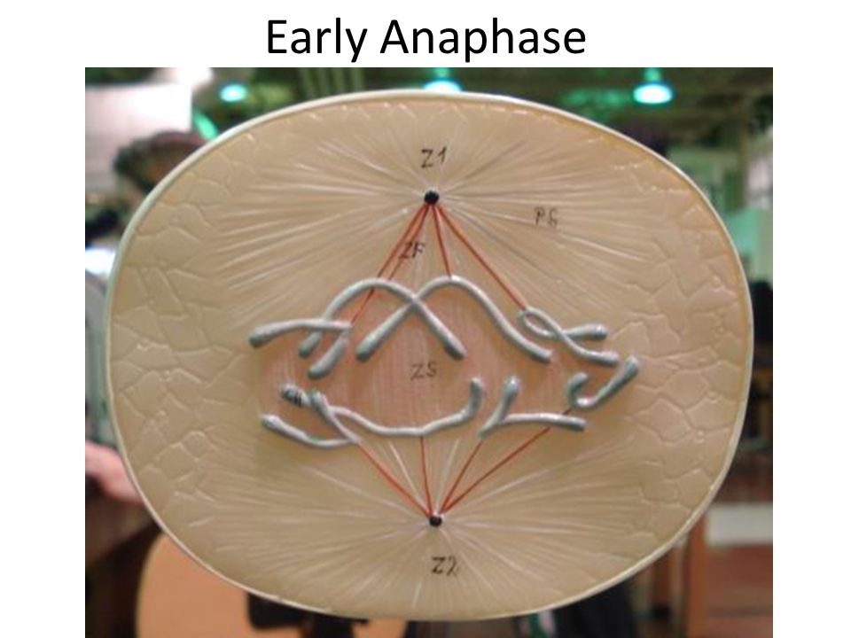 Early Anaphase