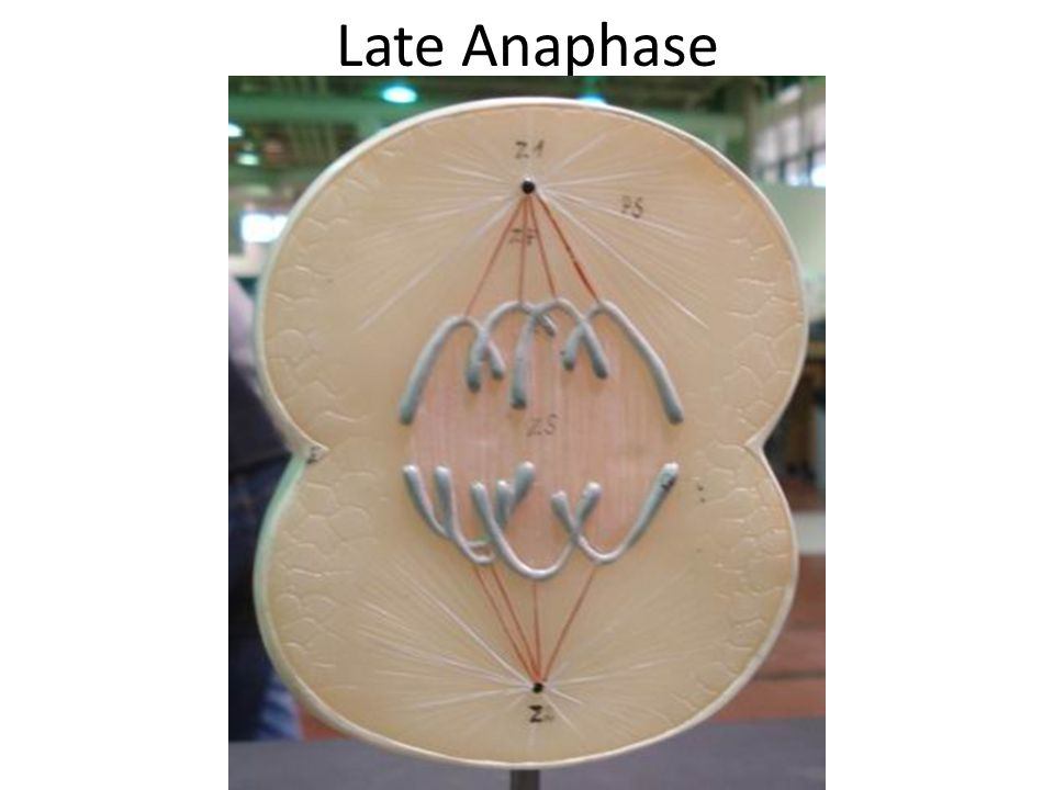 Late Anaphase