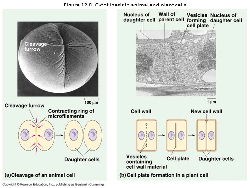 Figure 12.8 Cytokinesis in animal and plant cells