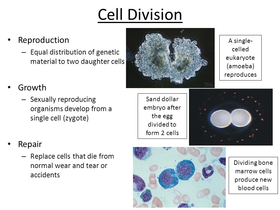 Cell Division Reproduction Growth Repair
