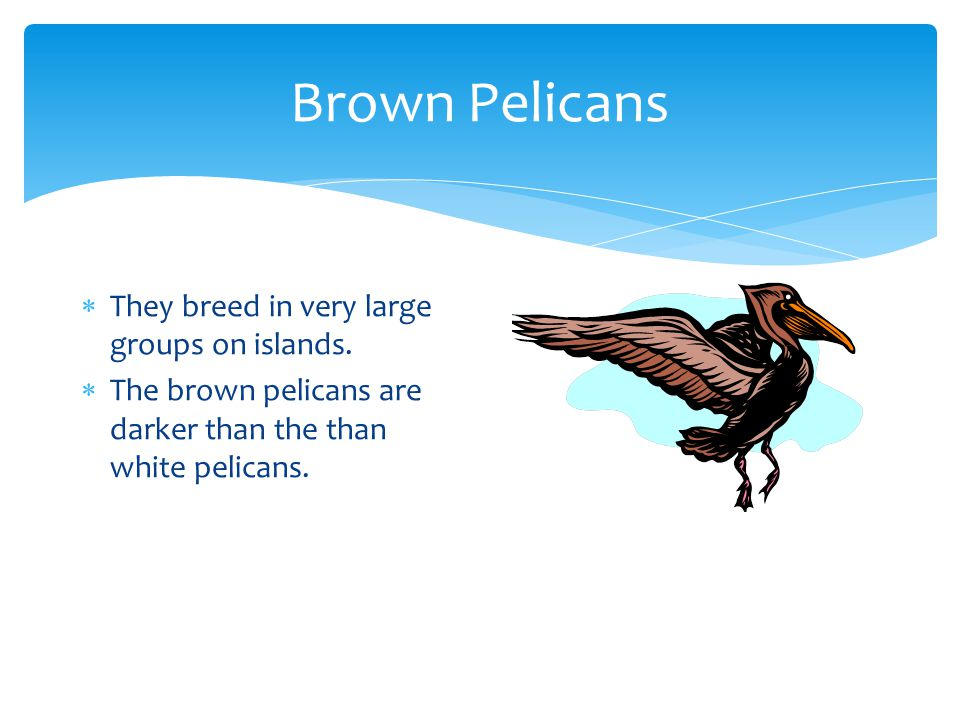 Brown Pelicans They breed in very large groups on islands.