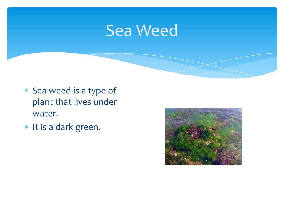 Sea Weed Sea weed is a type of plant that lives under water.