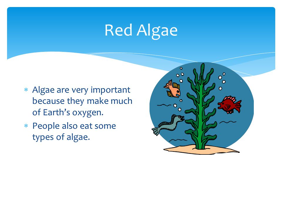 Red Algae Algae are very important because they make much of Earth's oxygen.