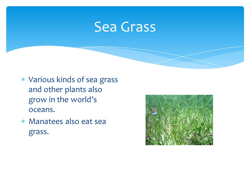 Sea Grass Various kinds of sea grass and other plants also grow in the world's oceans.