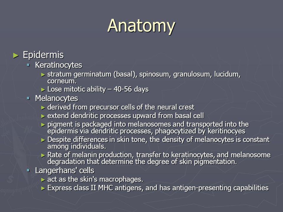 Anatomy Epidermis Keratinocytes Melanocytes Langerhans cells
