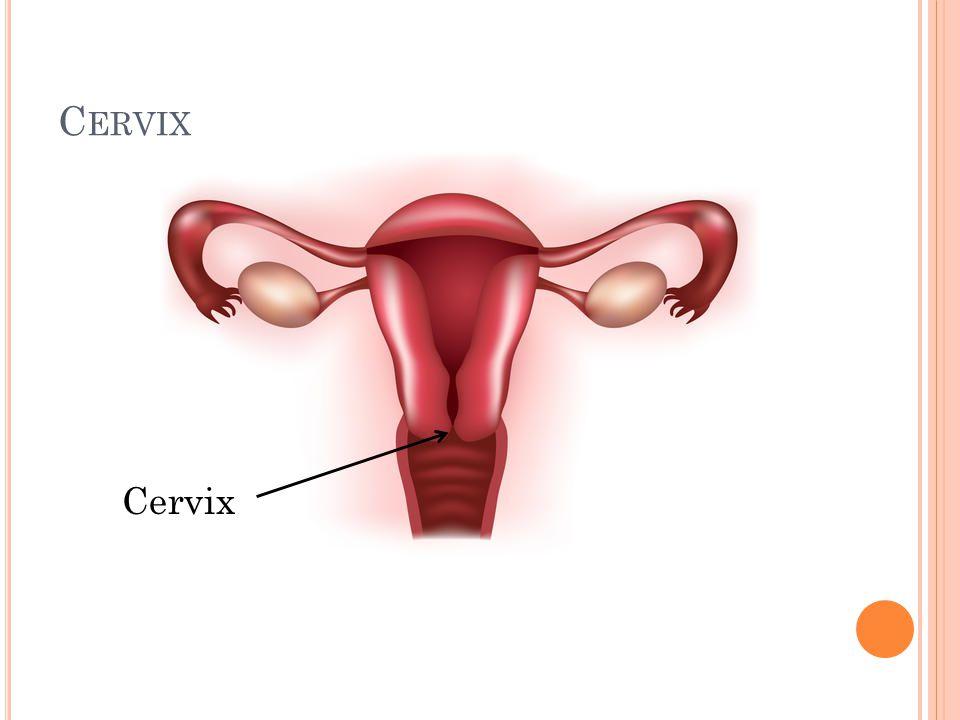 Cervix Cervix