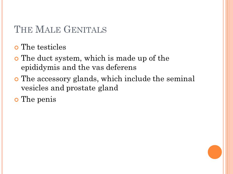 The Male Genitals The testicles