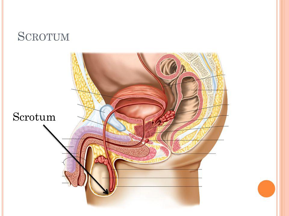 Scrotum Scrotum