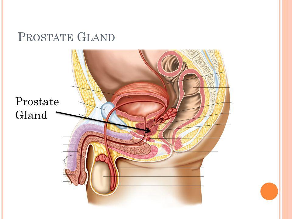 Prostate Gland Prostate Gland