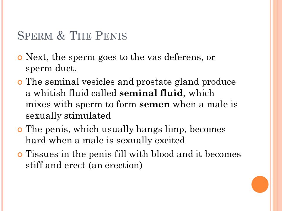 Sperm & The Penis Next, the sperm goes to the vas deferens, or sperm duct.